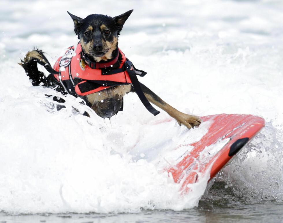 VOFF, VOFF: Jedi (2), en australsk, er blant hundene som deltar i hundesurfekonkuransen Incredible Dog Challenge. Foto: AP Photo/Gregory Bull/Scanpix