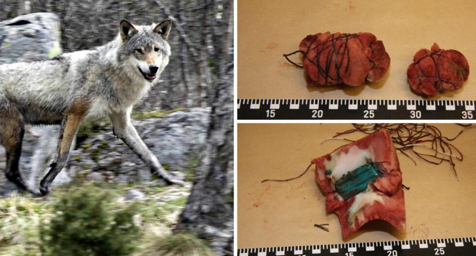 BLOD OG ROTTEGIFT:  Svampene var antagelig lagt ut for å ta livet av ulv i området. Montasje: Ole Chr. Thomassen / Dagbladet / Politiet