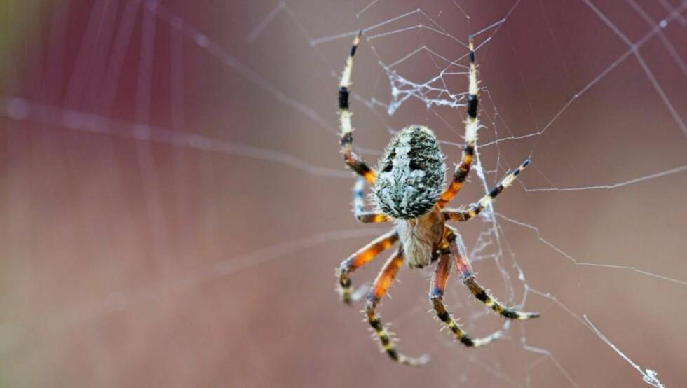 VERSTING: Edderkoppskrekk er en av de vanligste fobiene. Thinkstock