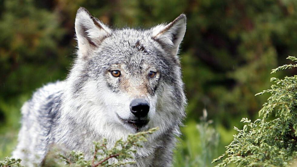 ULVENS OVERLEVELSE: - Skal vi bare tillate litt over tjue ulver i Norge, mener WWF at de må få et prioritert område hvor de kan leve - om vi skal sikre deres langsiktige overlevelse, skriver Tine Marie Hagelin. Foto: Ole C. H. Thomassen/Dagbladet
