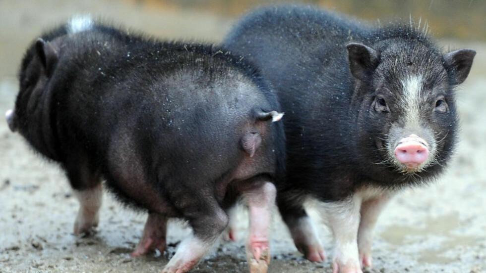 FLYGRISER: Du må ikke bli overrasket om du møter en liten gris på flyet i framtida. I alle fall ikke om du er i USA. De vietnamesiske hengebuksvinene på bildet brukes ikke som servicedyr. De heter Erna og Willy, og bor i dyreparken i Berlin. Foto: BRITTA PEDERSEN/AFP/NTB SCANPIX