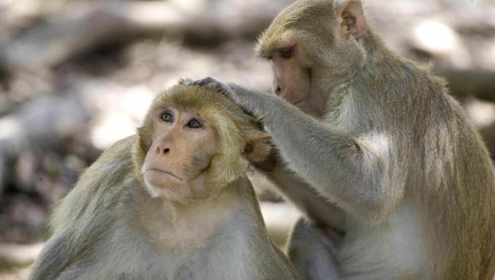 FORUTSÅ HANDLINGENE: I en ny amerikansk studie har forskere klart å «lese» nervecellene til aper og dermed klarte de å forutse hvilke bevegelser de ville gjøre. Apene som ble brukt i eksperimentet er rhesusaper som på bildet. Foto BRENNAN LINSLEY / AP Photo / NTB SCANPIX