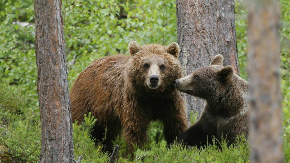 LETER ETTER BJØRN:  Politiet leter etter en skadeskutt bjørn de frykter kan utgjøre fare for mennsker. Det er en bjørn av denne typen det letes etter. Illustrasjonsfoto: Torbjørn Berg