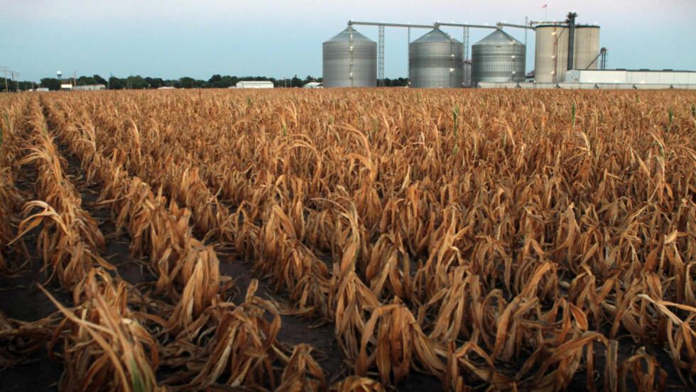 Tørke: Den ekstreme tørken i USA har ødelagt store avlinger av blant annet mais. Foto: Scott Olson/Getty Images/AFP