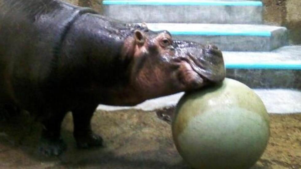 DØD: Donna, verdens eldste flodhest, døde i en alder av 62 år i en amerikansk dyrehage. Foto: Mesker Park Zoo