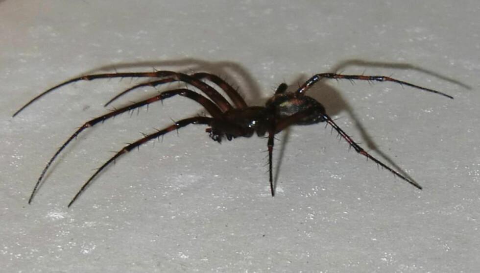 STØRRE ENN DU TROR: Stor husedderkopp er en av Norges største edderkopper. Fra forbeins- til bakbeinsspiss kan den måle 8-10 centimeter. Foto: Effecta Bergen