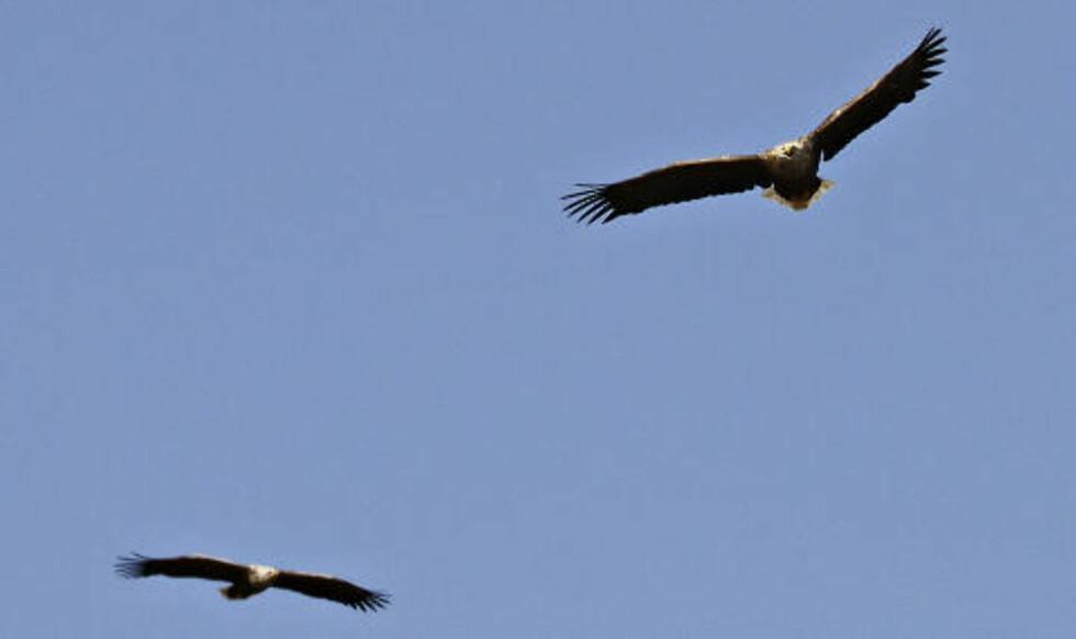 PAR:Begge foreldrene patruljerer luftrommet over reiret.