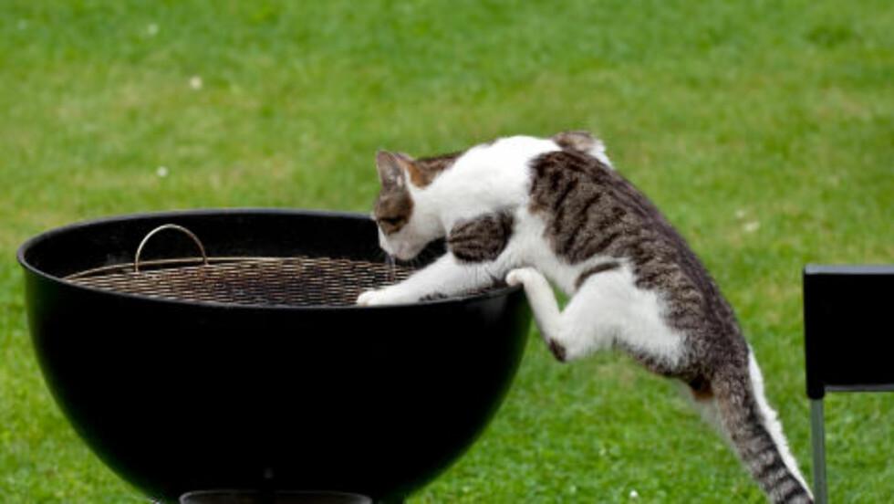 GRILLES: Studien avslører - kanskje ikke helt overraskende - at det er unge hannkatter som oppsøker flest farlige situasjoner. Eldre katter og hunner er de som lever det tryggeste livet. Foto: Colourbox