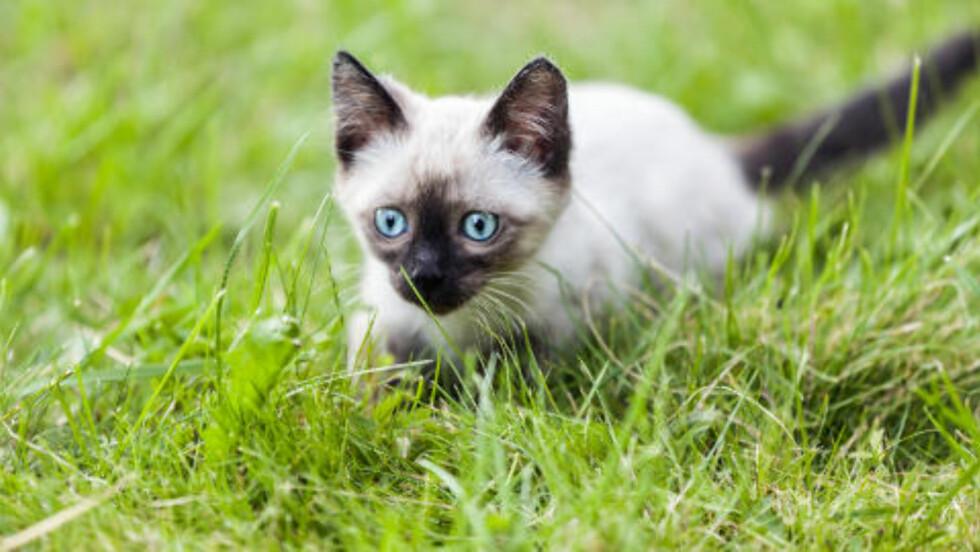 SØT, MEN FARLIG: Katter dreper langt flere dyr enn tidligere trodd, ifølge en ny studie. Om tallene stemmer, betyr det at over fire milliarder smådyr får smake klørne til Mons hvert år, bare i USA. . Foto: Colourbox