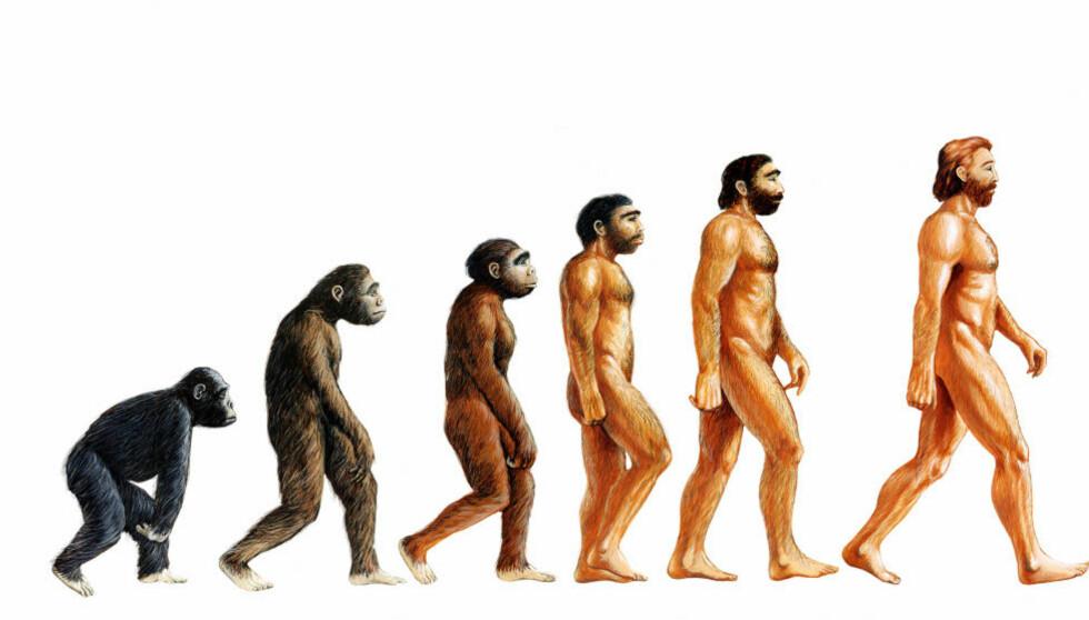 EVOLUSJON: Dette er en kjent framstilling av menneskelig evolusjon. Foto: Science Photo Library/ NTB scanpix
