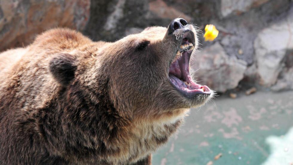 FARLIGE: En brunbjørn blir matet i et reservat. I Japan er et ukjent antall brunbjørner på rømmen. Flere mennesker er drept. Foto: GIUSEPPE CACACE/AFP