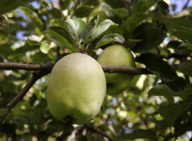 EGENART: Profesjonelle eplebønder velger sorter med vakrere frukt, svakere rotstokker og mer rasjonelle dyrkesystemer, men ddet er hageeplene som har mest av det franskmennene kaller terroir. De smaker av stedet der de har vokst.