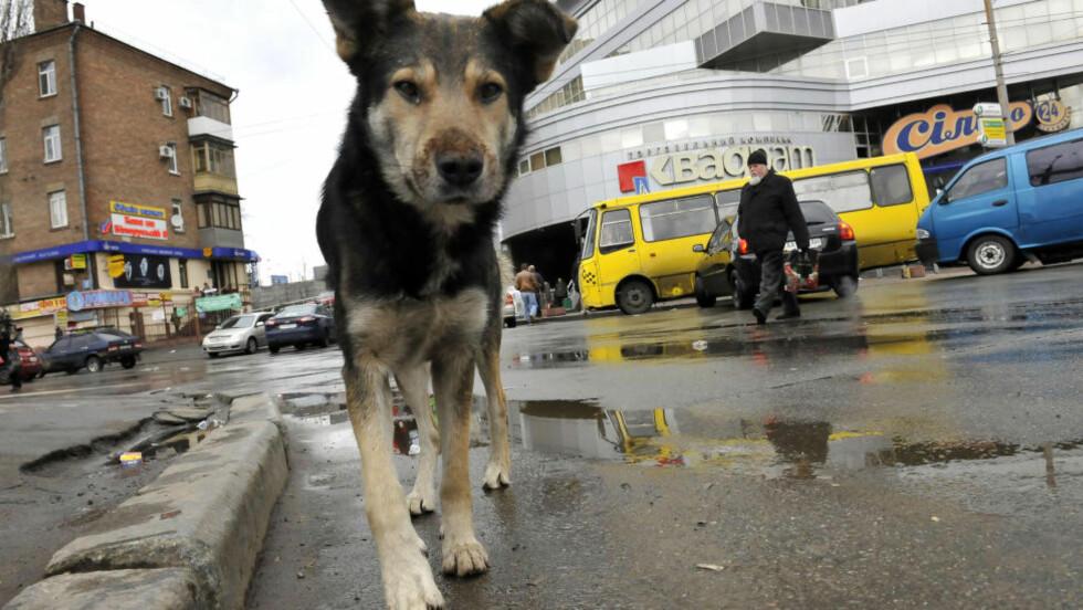 GATEHUNDER: Mattilsynet advarer om at gatehunder som importeres fra utlandet, kan ha med seg nye og ukjente parasitter og sykdommer. De siste årene har import av utenlandske gatehunder økt. På bildet er en gatehund fra Kiev i Ukraina. Foto: Mihai Vasile / Vier Pfoten / REUTERS / SCANPIX