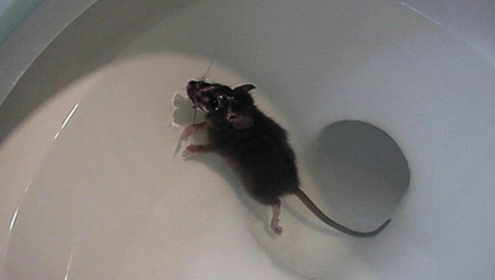 UVELKOMMEN BADEGJEST: Rotter kan ta seg fram de fleste steder, også via doskålen. Foto: Eraphernalia_vintage/Flickr.com