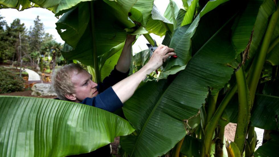 BANANER: Også bananplantene trives hos familien Bryn på Sør-Hidle. Foto: Roger Brendhagen