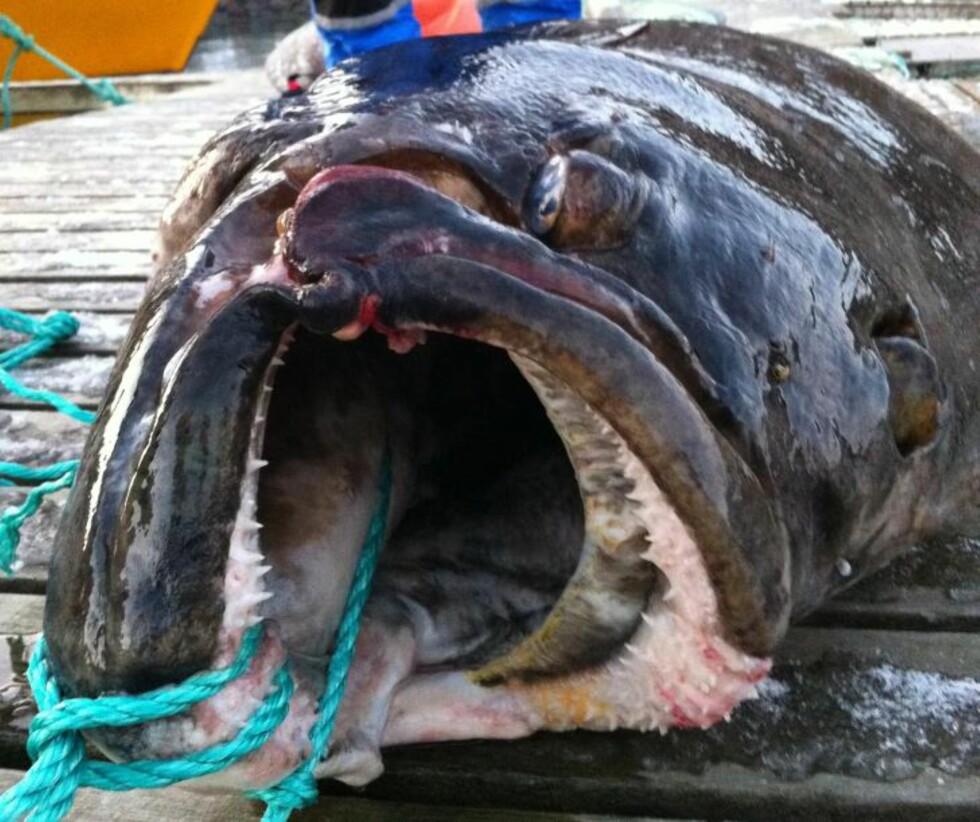 """STOR I KJEFTEN: """"Som Vegaværinger flest... Stor i kjeften!"""" sier fiskerne selv om dette bildet. Foto: Privat"""