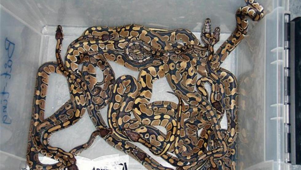 PYTONSLANGER: Disse slangene hadde en da 22 år gammel mann teipet til kroppen da han ble tatt i 2009, i en av de mest kjente dyresmuglingssakene i Norge. Foto: Kristiansand regiontollsted