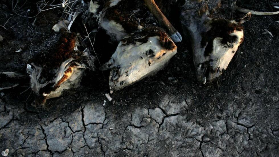 OFRE FOR KLIMAENDRINGER: Tre av omkring 500 kuer som døde på en gård i Argentina i 2009, grunnet tørke. Foto: AP/Natacha Pisarenko/Scanpix