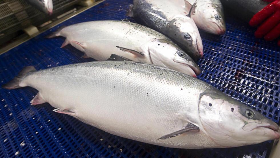 IKKE BÆREKRAFTIG: Lakselus, rømt oppdrettsfisk og utslipp er bare noe av det naturen rundt merdene sliter med, skriver artikkelforfatteren. Foto: Scanpix