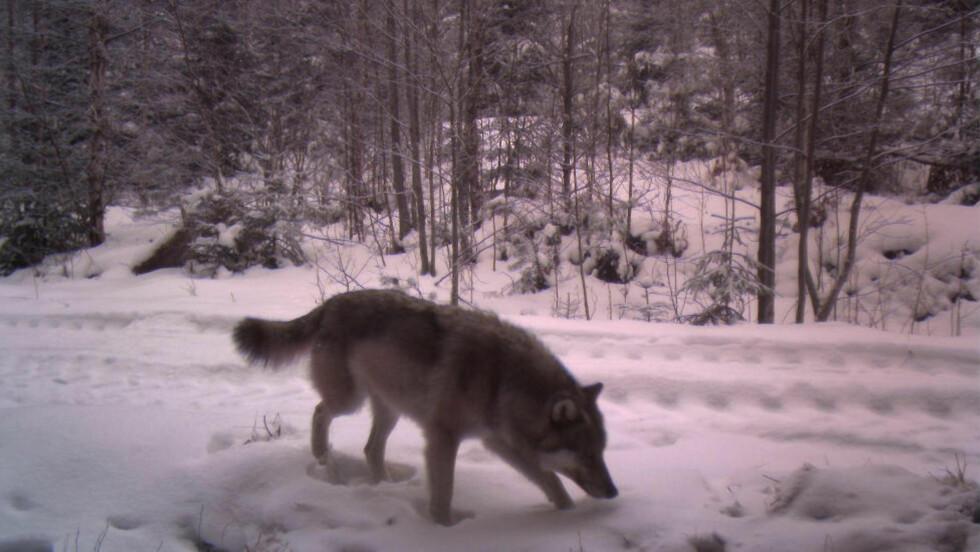 I ØSTMARKA: Denne hannulven ble fanget opp av et viltkamera i Høland i februar. Rovviltkontakt Torbjørn Tveter i Statens Naturoppsyn sier at mye tyder på at ulven nå lager seg et revir i Østmarka.