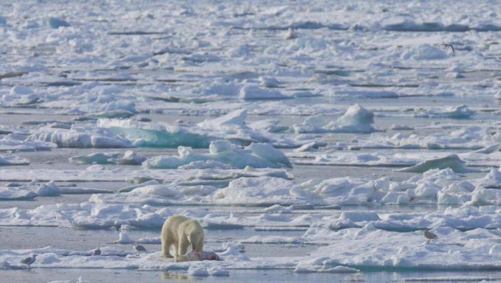 <strong>MINDRE JAKTOMRÅDE:</strong> På grunn av klimaendringene blir jaktområdet til isbjørner mindre. Foto: Jenny E. Ross