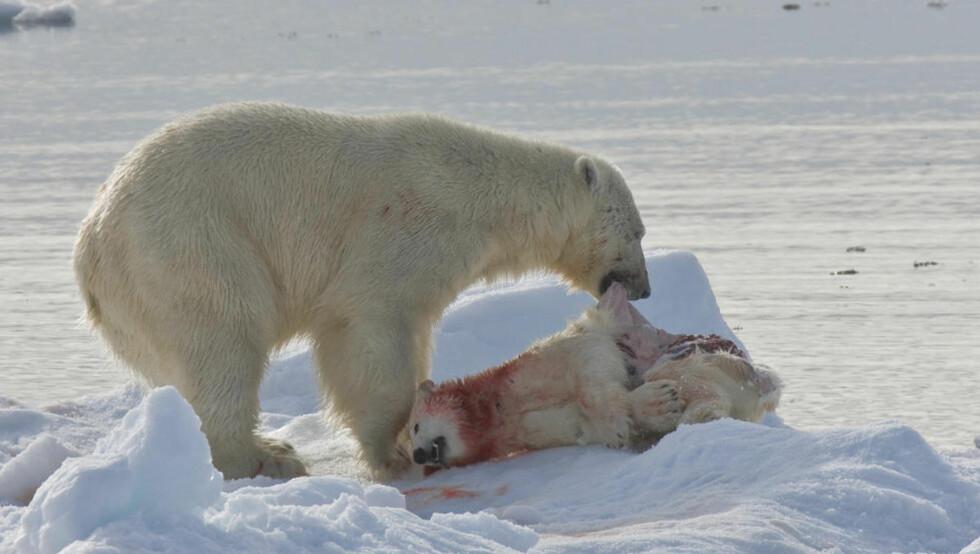 KANNIBAL: Her har en voksen isbjørn nettopp drept en isbjørnunge på Svalbard. Kannibalisme blant isbjørner skal være økende. Foto: Jenny E. Ross