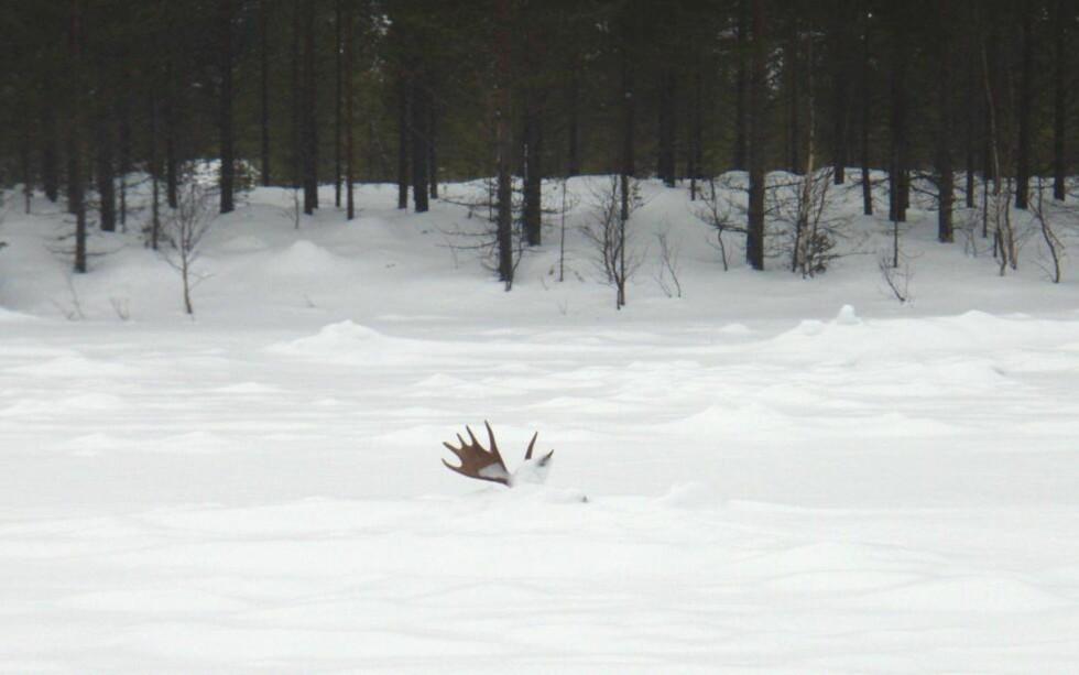 ENDTE I TRAGEDIE: Snarveien over isen ble skjebnesvanger for denne elgoksen. Den har trolig gått gjennom isen for et par uker siden. Vannet har vært så dypt at elgen ikke har fått sparka fra bunnen for å komme seg opp igjen. Nå står bare geviret opp fra den snølagte isen på Femundselva. Foto: Bjørnar Johnsen