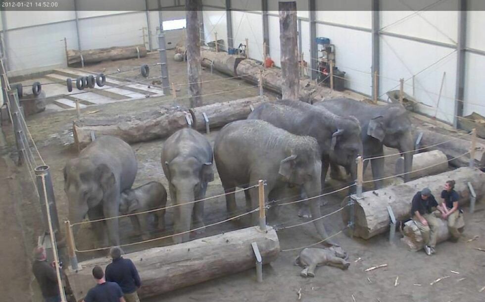 UNIKE BILDER  : Dette bildet viser elefantflokken i Hellabrunn dyrepark i München som tar farvel med den tre måneder gamle babyen Lola. Foto: BARCROFT / BULLS PRESS