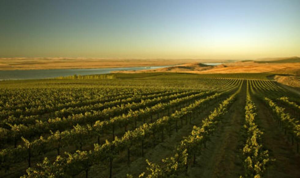 CANOE RIDGE: Morgenstemning på vinmarkene til Chateau Ste Michelle i Columbia Valley, Washington i USA. Foto: KEVIN CRUFF/Chateau Ste Michelle