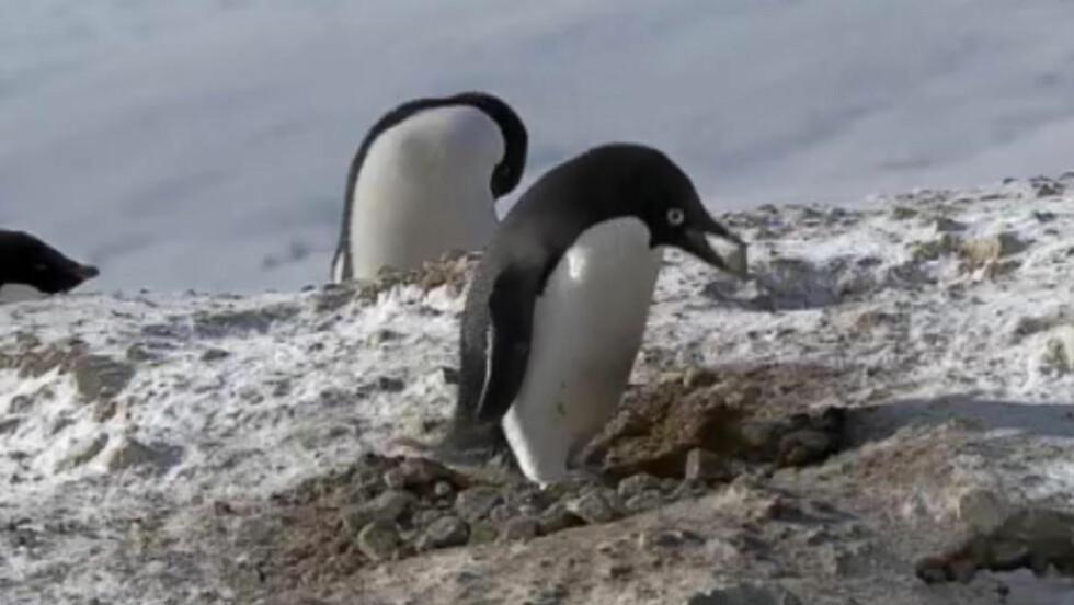 TATT PÅ FERSKEN: Denne pingvinen blir filmet når han stjeler gode steiner for å bygge redet sitt. Foto: Bilde fra BBC-video.