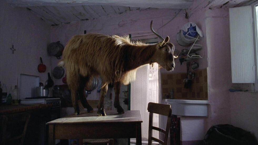 GRENSESPRENGENDE: Den italienske filmskaperen Michealangelo Frammartino mener tiden er overmoden for å fjerne grensene mellom dokumentar- og spillefilm. Hans kinoaktuelle prisvinner «Landsbyen på toppen av fjellet» ble i hovedsak finasiert som spillefilm, men har ingen skuespillere i tradisjonell forstand. Men hunder og geiter derimot...