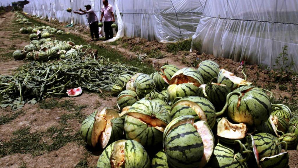 GJØDSEL: Bøndene har gjort en gjødselstabbe. Melonene er uselgelige, men brukes til dyrefôr. Foto: AP/Scanpix