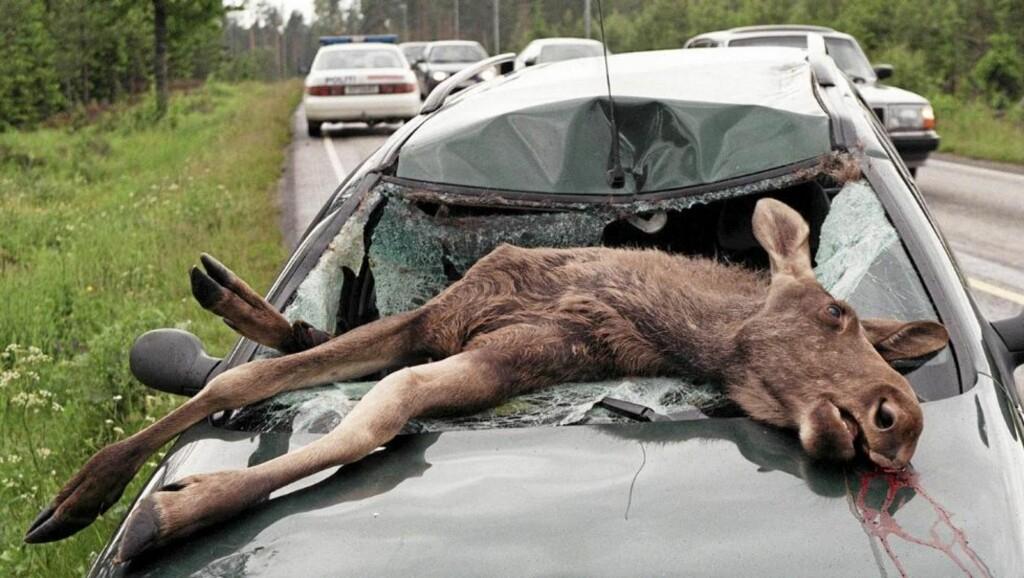 FARLIG: Bil og elg er en farlig kombinasjon. Denne kalven måtte bøte med livet, men heldigvis for personene i bilen var han ikke stor nok til å kreve deres liv også. Denne typen kollisjoner er imidlertid de som oftest krever liv - en voksen elg kan fort veie rundt 800 kilo. Illustrasjonsfoto: Scanpix.no