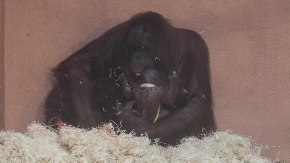 KLAMRER SEG TIL MOR: Den lille orangutangbabyen klamrer seg til moren Nony (26). Foto: Ole Martin Buene / Kristiansand Dyrepark