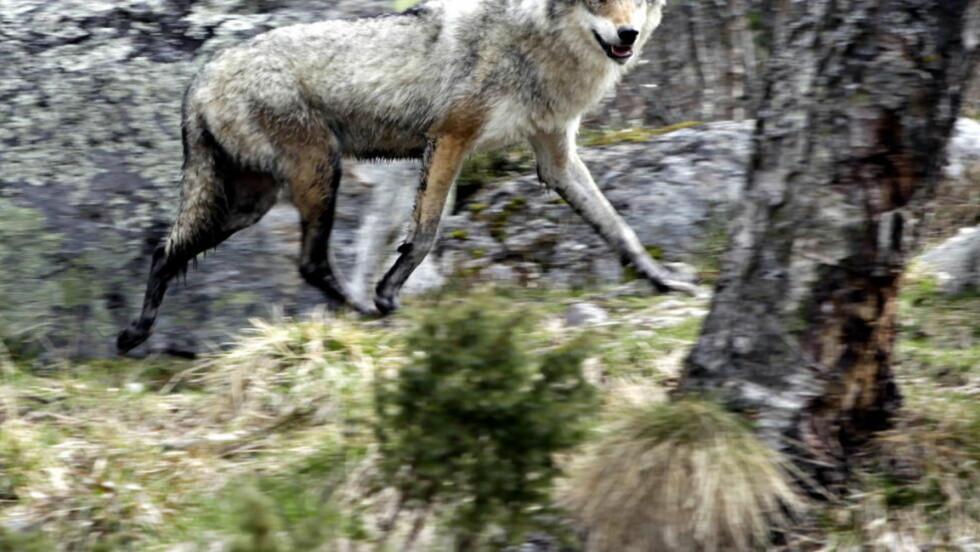 ULVEJAKT: Rovviltnemnda i Hedmark har besluttet å gi lisens for felling av tre ulver. Foto: Ole Chr. Thomassen / Dagbladet