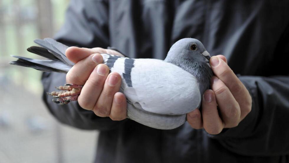 KAN TRENES: I Colombia er duer brukt til å smugle narkotika inn i fengsler. Dua på dette bildet er alet opp i Belgia. Foto: AP/Geert Vanden Wijngaert