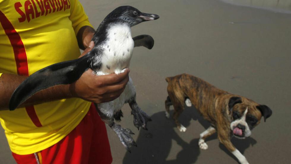 PERUKJENDIS: Pingvinen fikk raskt navnet Tomas og ble raskt en kjendis i Peru etter at han dukket opp på stranda i Lima. Foto: REUTERS/Mariana Bazo/SCANPIX
