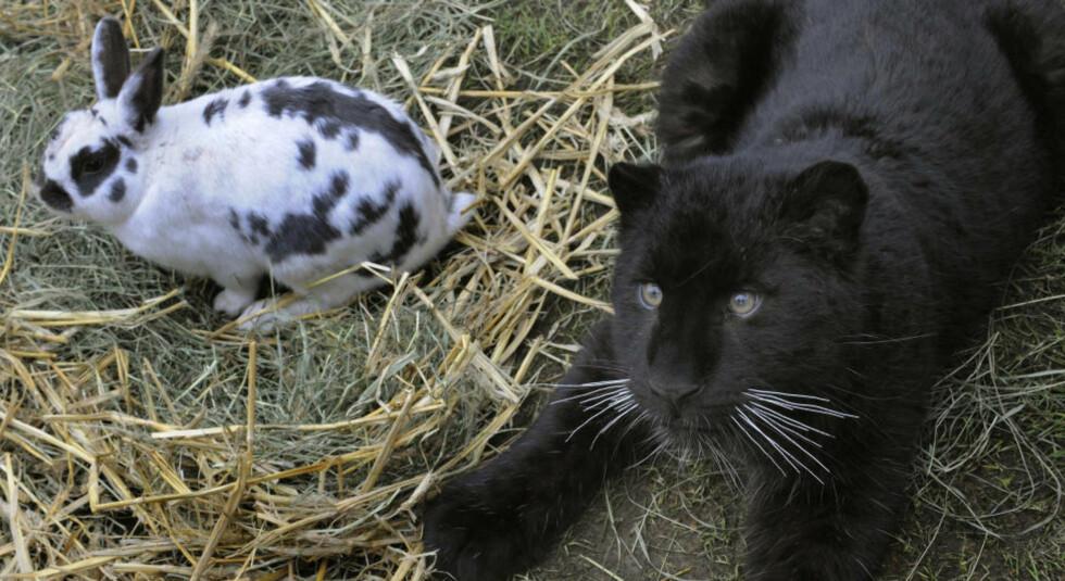 TILBRINGER DAGENE SAMMEN: Leopardungen Paulchen ble tidlig avvist av sin mor, mest sannsynlig på grunn av sin sorte pels. Nå holder kaninen Lisa ham med selskap. Foto: AFP PHOTO/SCANPIX