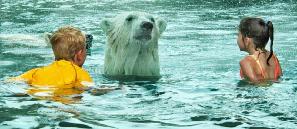 BADEBJØRNER: Det eneste som skiller isbjørner og badegjester, er et fem centimeter tykt glass. Foto: Cochrane Polar Bear Habitat/Gerry Robichaud
