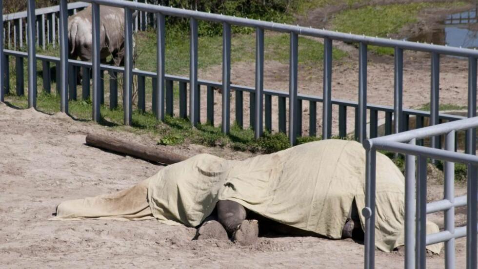 DØDE I INNHEGNINGEN: Den 39 år gamle indiske elefanten Boy kollapset og døde i dyrehagen i Kiev i april i fjor. Dyrevernorganisasjoner mener hundrevis av dyr i dyrehagen har dødd eller forsvunnet i løpet av de siste åra. Foto: SCANPIX/AP