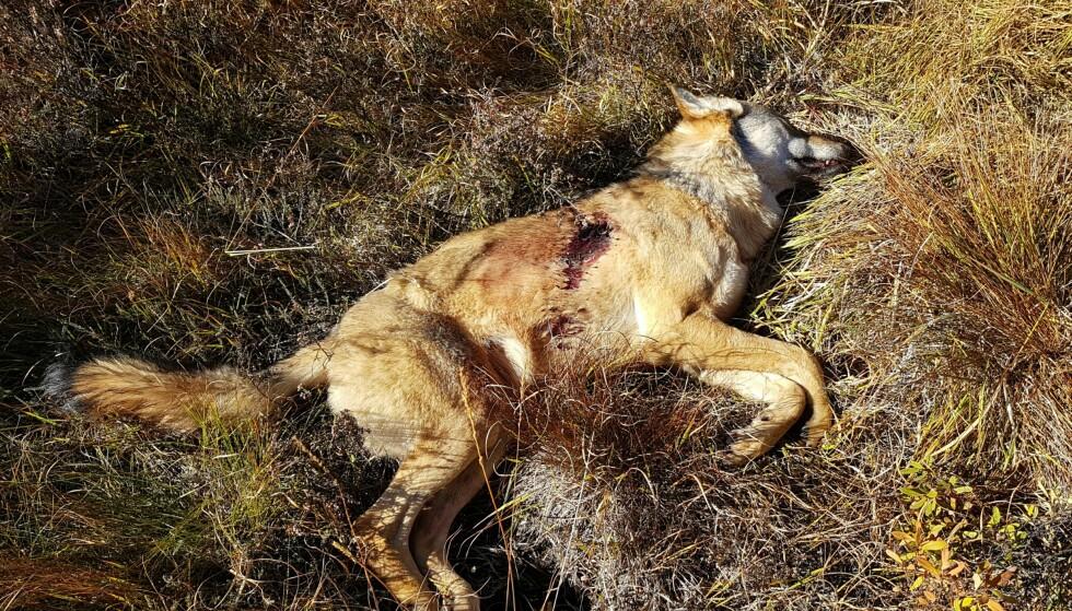 ULVETISPE: Denne ulvetispa ble i dag skutt i Froland kommune. Foto: Baard Larsen / Frolendingen