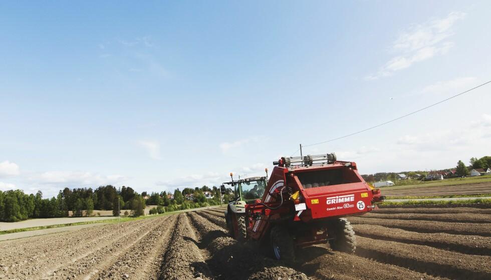 FJERNER STEIN: Før potetene settes om våren fjerner Bjertnæs og Hoel stein fra plantebeddet. Slik hindrer de sårskader og poteten blir friskere med finere skall  Foto: Nadia Frantsen