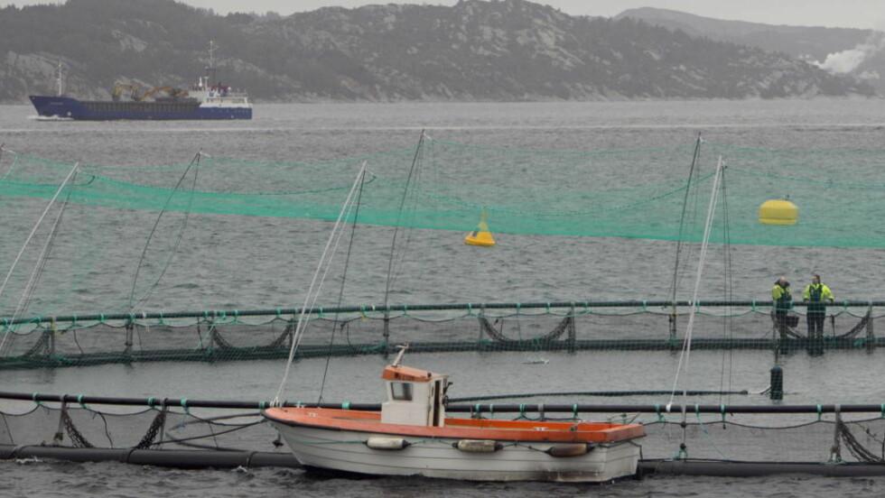 :HØY DØDELIGHET  I slike merder i fjorden lever oppdrettsfisken. 20 prosent av fisken dør før den når slakteriet. Her fra et anlegg i Hordaland, som sammen med Rogaland er det fylket med størst risiko for dårlig dyrevelferd. Foto: Heiko Junge / Scanpix.