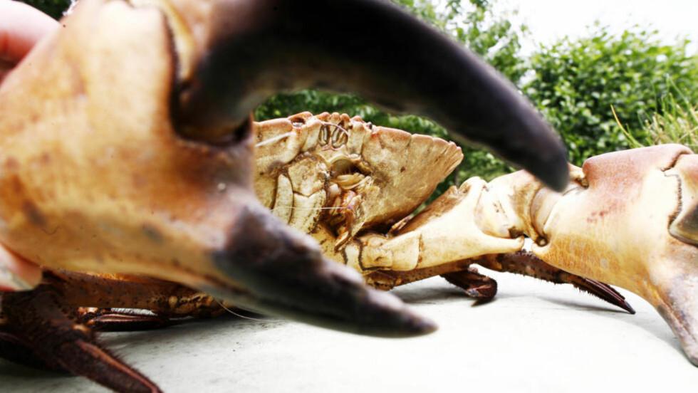 KAN VÆRE FARLIG GODT: Sjekk hvor du fanger krabbene før du spiser dem. Foto: Scanpix.