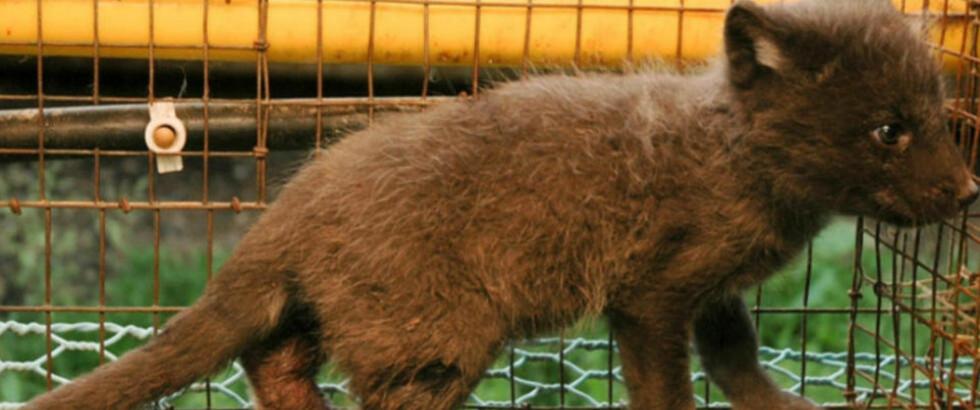 STOR MOTSTAND: Ni av ti mener pelsdyrnæringen ikke bør motta subsidier fra staten. Foto: Dyrebeskyttelsen