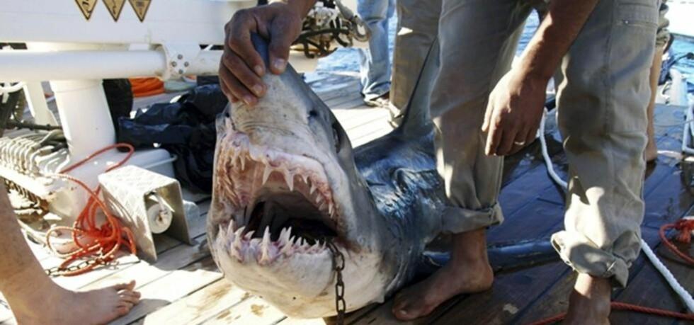 HAIVINTER: Dette er haien som skal ha angrepet fire turister i forrige uke. I går omkom en tysk kvinne i det som er det andre hairelaterte dødsfallet i Sharm el-Sheikh i 2010. Foto: Reuters