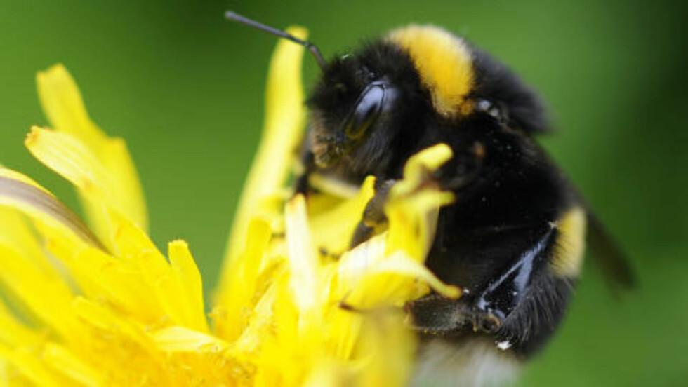 MATNYTTIGE: 30 prosent av verdens matvareproduksjon er avhengig av pollinering av bier. Den dramatiske nedgangen i forekomsten av dem, er et stort problem for matvaresikkerheten. Foto: AP