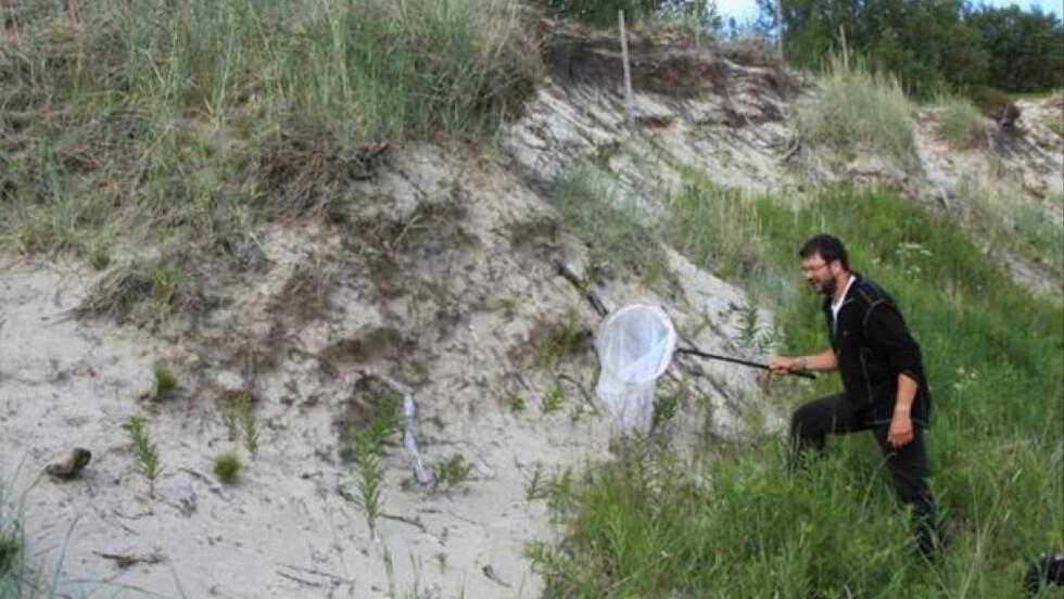 PÅ JAKT: Tørre, varme sandskråninger er viktige reirplasser for ville bier. Her driver innsektforsker Frode Ødegaard kartlegging. Foto: Agne Ødegaard