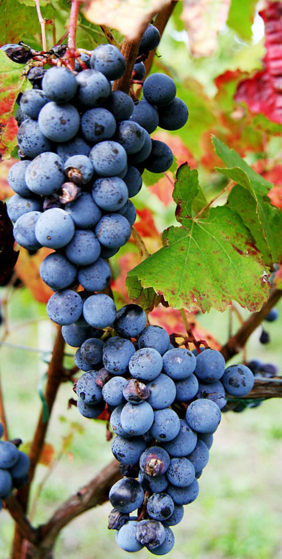 ITALIENSK: Druer som får henge og modne lenger, gir vinen et rundere preg og mindre harde tanniner  Foto: KIRSTEN M. BUZZI