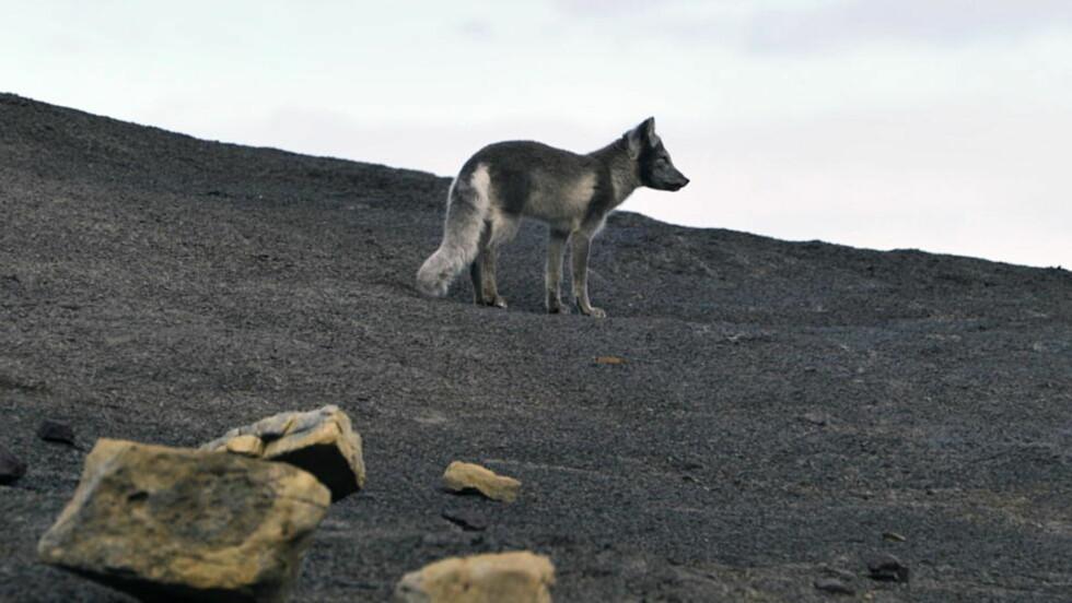 LIVSFARLIG: Rabiessmitte er endemisk blant polarrever på Svalbard, hvor det siden 1980 er påvist et tjuetalls tilfeller. Ett av symptomene er at dyrene kan bli svært aggressive. Krabaten på bildet - døpt Joika - utviste mest nysgjerrighet da den tasset innom og hilset på Dagbladets fotograv under en fossilutgraving på Deltaneset i sommer. Foto: Hans A Vedlog/ Dagbladet